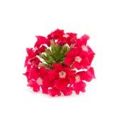 rouge de fleur Photographie stock libre de droits