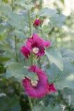 Rouge de fleur de rose trémière de mauve dans le jardin Image stock