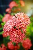 Rouge de fleur de transitoire en nature Image libre de droits