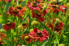 Rouge de Hybridum de Helenium Photos stock