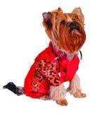 rouge de jupe de crabot photos libres de droits