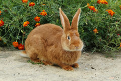 rouge de lapin Image stock