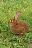 rouge de lapin Images stock