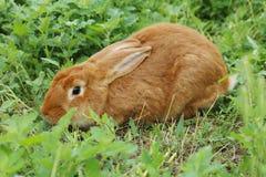rouge de lapin photographie stock