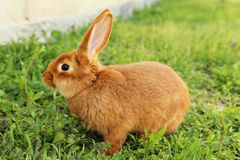 rouge de lapin Photographie stock libre de droits