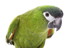 rouge de macaw épaulé Photographie stock
