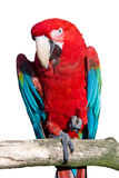 rouge de macaw Photo stock