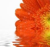 rouge de marguerite Photographie stock