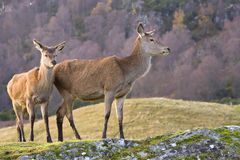 rouge de paires de cerfs communs Images stock