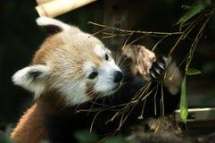 rouge de panda Image libre de droits