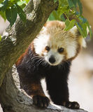 rouge de panda Photo stock