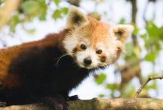 rouge de panda Photographie stock