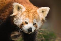 rouge de panda de firefox Images stock