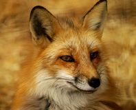 rouge de renard photo libre de droits