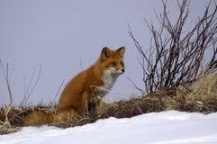 rouge de renard Photo libre de droits