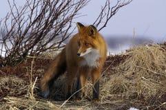 rouge de renard Photos stock