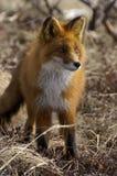 rouge de renard Photos libres de droits