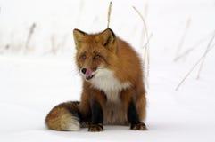 rouge de renard Photo stock