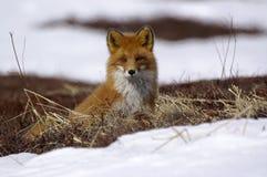 rouge de renard Image stock