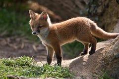 rouge de renard Image libre de droits