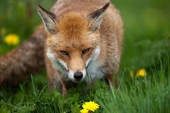 rouge de renard Images libres de droits