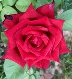 Rouge de Rosey photographie stock libre de droits