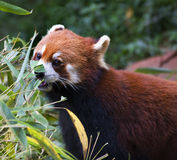 rouge en bambou de panda de consommation de porcelaine Photographie stock