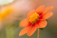 rouge en pastel et l'orange et le rouge ont coloré le dahlia Photos stock
