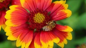 Rouge et ABEILLE de fleur de Yelow Photographie stock