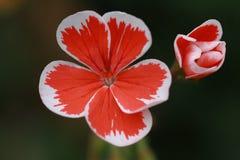 Rouge et blanc Photo libre de droits