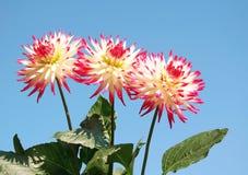 Rouge et blanc de dahlia Photos stock