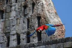 Rouge et bleu d'ara de vol photo libre de droits