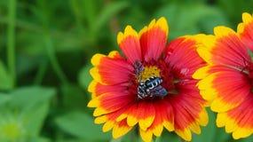 Rouge et fleur de Yelow Photos stock