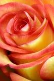 Rouge et jaune simples se sont levés Image libre de droits