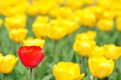 Rouge et tulipe de Yello Photos libres de droits