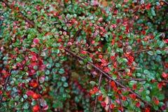 Rouge et vert Photos stock