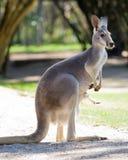 rouge femelle de kangourou images libres de droits