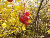Rouge, feuilles, jaune, automne, récolte, plan rapproché, tiges, fruits, baie, viburnum mûr et rouge, sain, santé, bouillon, aigr Photo stock