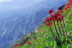 Rouge flowers. A plant of the family primulaceae. scientific name: primula maximowiczii Regel royalty free stock image