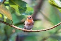 Rouge Fody du Madagascar Photos stock