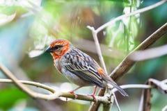 Rouge Fody du Madagascar Photographie stock libre de droits
