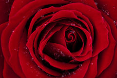 Rouge foncé s'est levé avec des baisses de rosée Photos stock