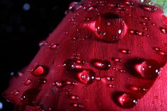 Rouge foncé s'est levé avec des gouttelettes d'eau. Photos libres de droits