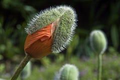Rouge-herbe Photos libres de droits
