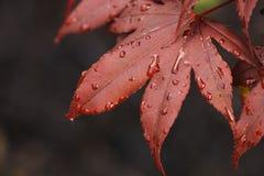 rouge japonais d'érable de lame de plan rapproché images libres de droits
