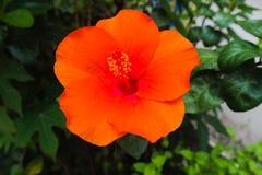 Rouge jaune pourpre de beau plan rapproch? et fleurs oranges de couleur en parcs verts ext?rieurs images libres de droits