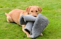 Rouge Labrador de Fox Image libre de droits