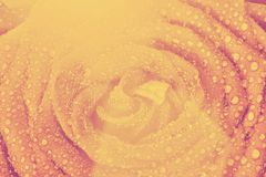 Rouge mouillez le plan rapproché rose de fleur Type de cru Images stock