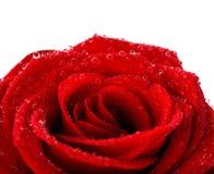 Rouge mouillez rose Photographie stock libre de droits