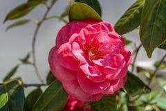 Rouge moyen de brume de belle de beauté rose rare de rose dans l'esprit de jardin Photo stock